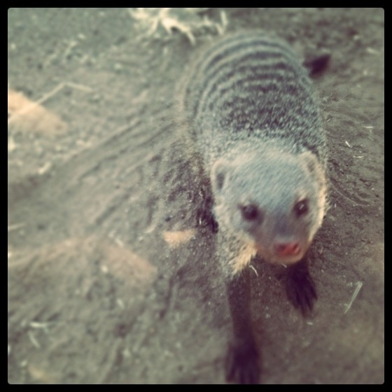 Cheeky Mongoose