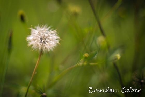BrendonSalzer_Dandilion-1-web